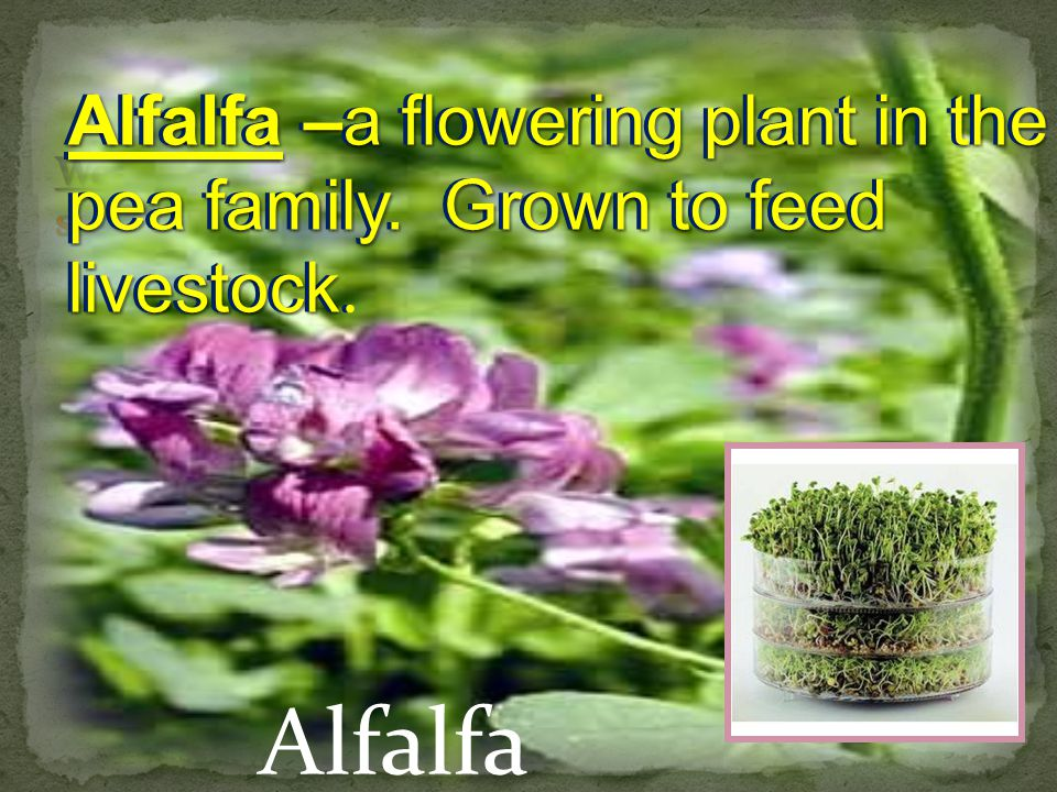 Alfalfa Alfalfa –a flowering plant in the pea family.
