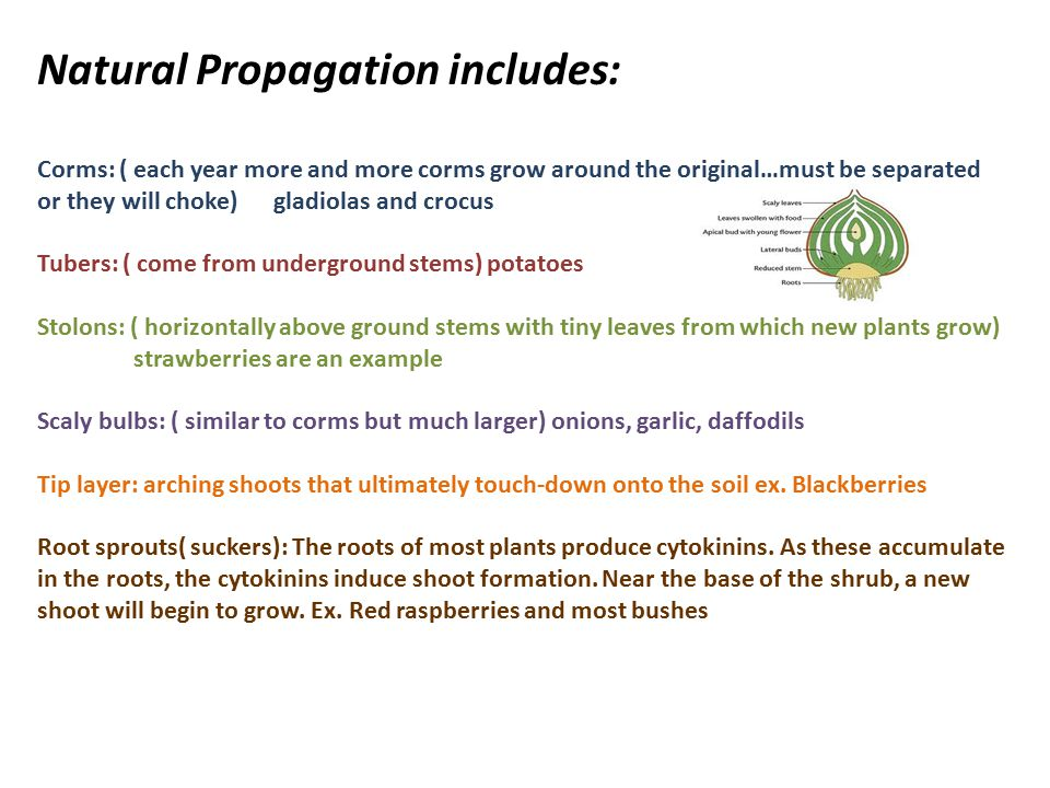 Natural Propagation includes: Corms: ( each year more and more corms grow around the original…must be separated or they will choke) gladiolas and crocus Tubers: ( come from underground stems) potatoes Stolons: ( horizontally above ground stems with tiny leaves from which new plants grow) strawberries are an example Scaly bulbs: ( similar to corms but much larger) onions, garlic, daffodils Tip layer: arching shoots that ultimately touch-down onto the soil ex.