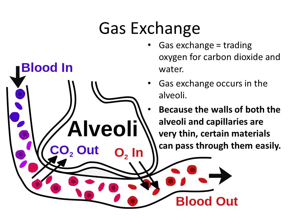 Gas Exchange Gas exchange = trading oxygen for carbon dioxide and water. Gas exchange occurs in the alveoli. Because the walls of both the alveoli and