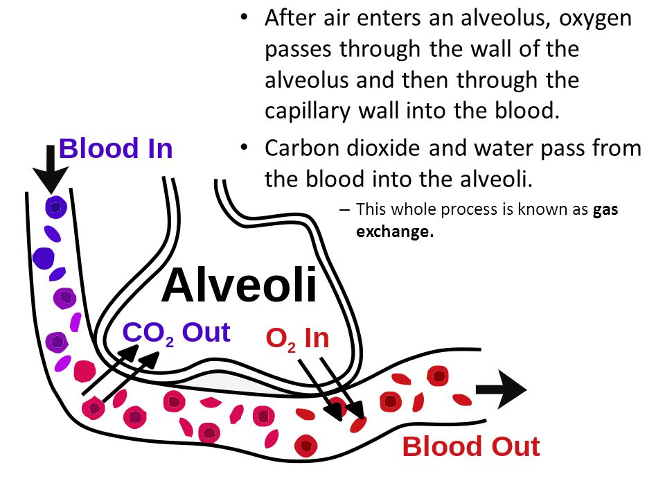 After air enters an alveolus, oxygen passes through the wall of the alveolus and then through the capillary wall into the blood. Carbon dioxide and wa