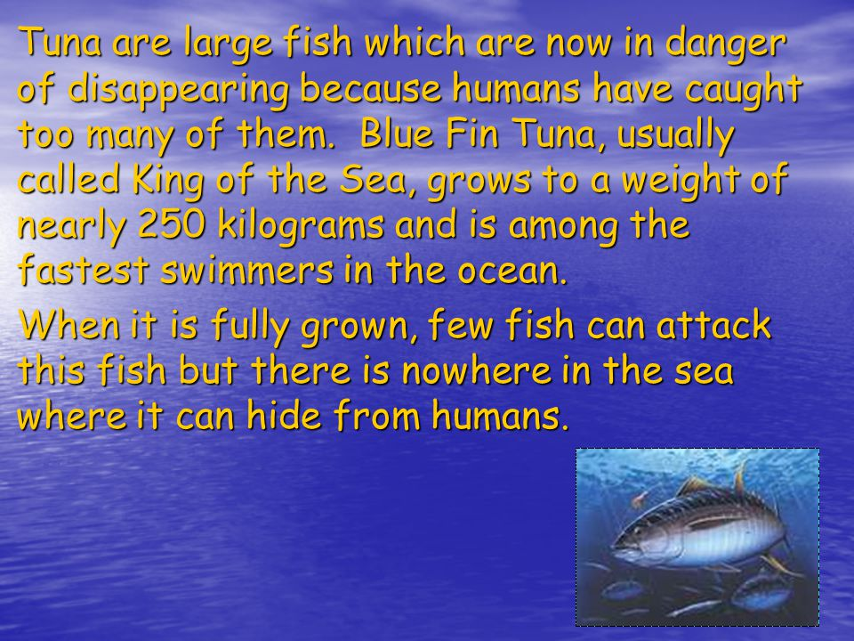 Tuna are large fish which are now in danger of disappearing because humans have caught too many of them.