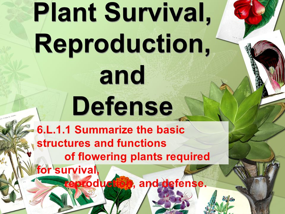 Plant Survival, Reproduction, and Defense 6.L.1.1 Summarize the basic structures and functions of flowering plants required for survival, reproduction, and defense.
