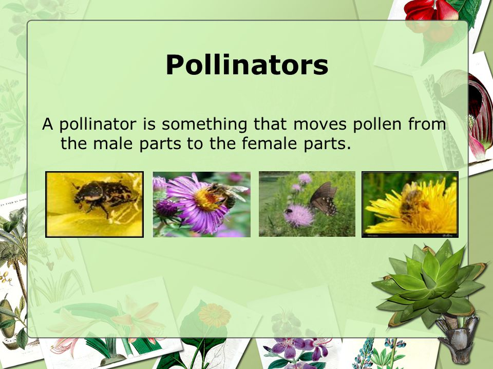 Pollinators A pollinator is something that moves pollen from the male parts to the female parts.