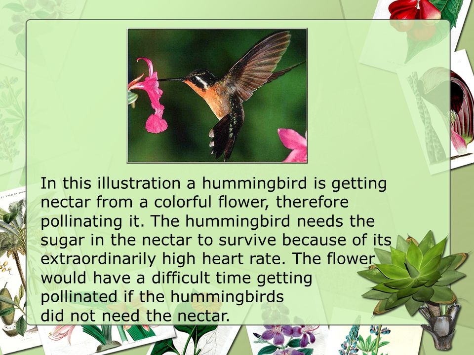In this illustration a hummingbird is getting nectar from a colorful flower, therefore pollinating it.