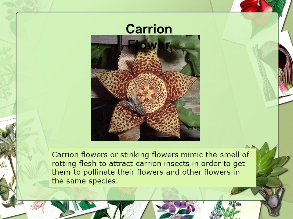 Carrion Flower Carrion flowers or stinking flowers mimic the smell of rotting flesh to attract carrion insects in order to get them to pollinate their flowers and other flowers in the same species.
