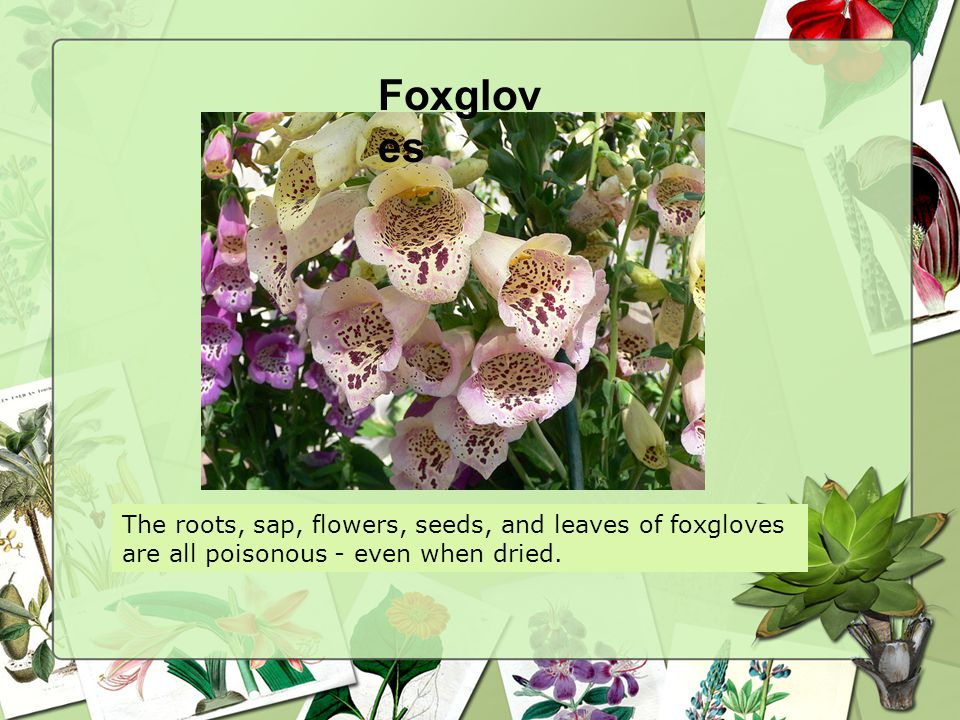 Foxglov es The roots, sap, flowers, seeds, and leaves of foxgloves are all poisonous - even when dried.