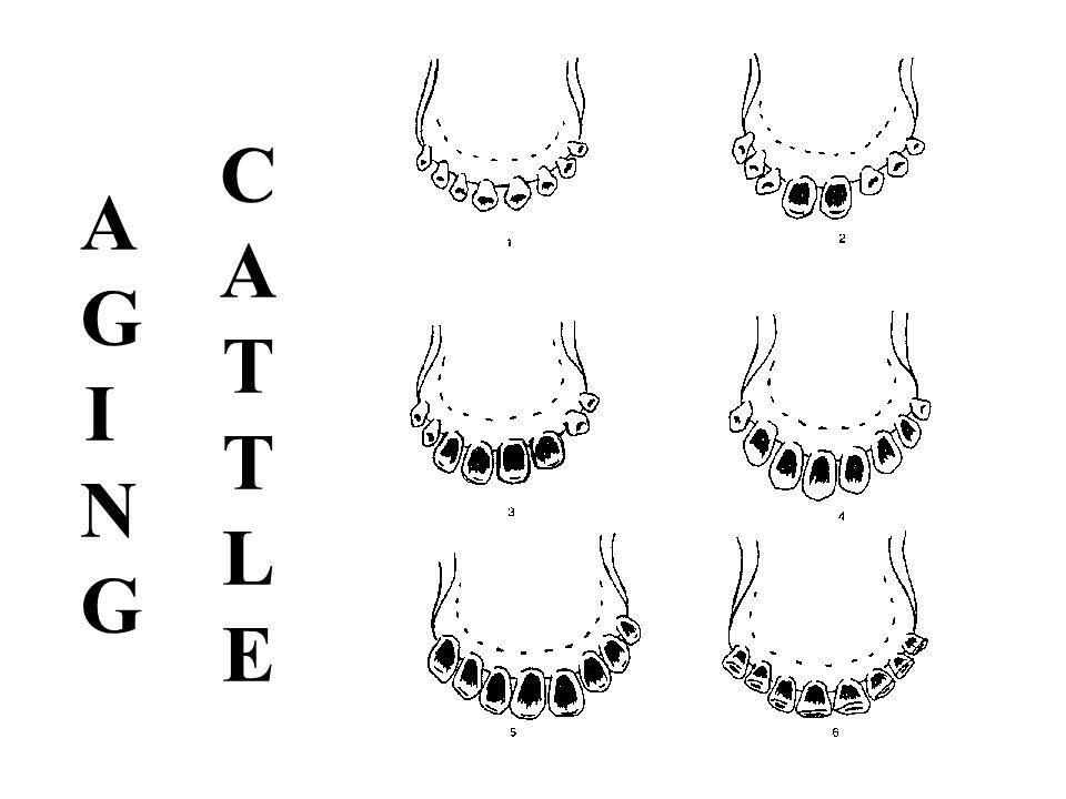 AGINGAGING CATTLECATTLET
