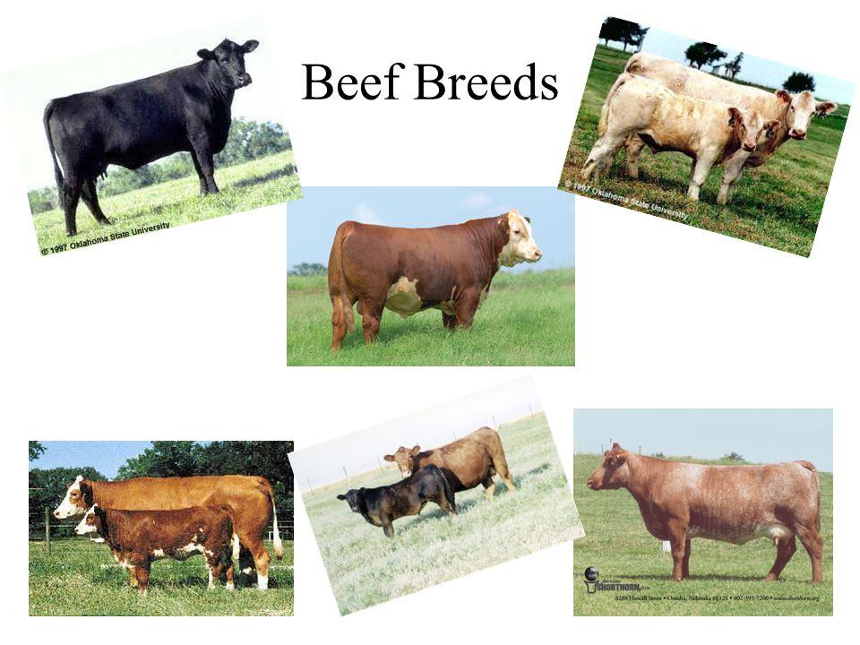 Beef Breeds