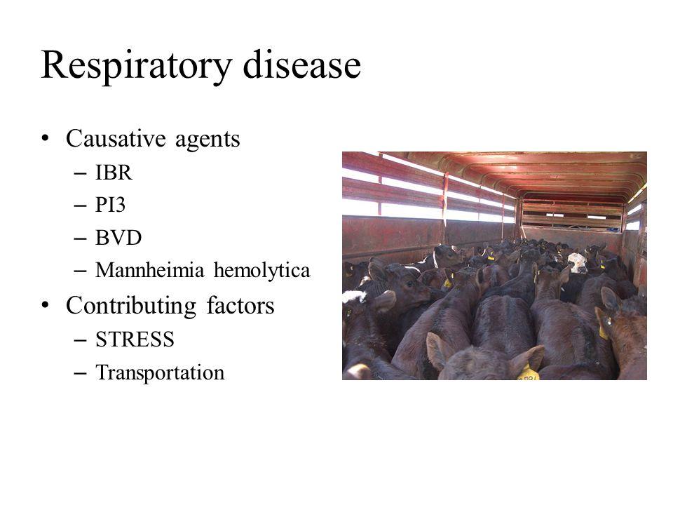 Respiratory disease Causative agents – IBR – PI3 – BVD – Mannheimia hemolytica Contributing factors – STRESS – Transportation