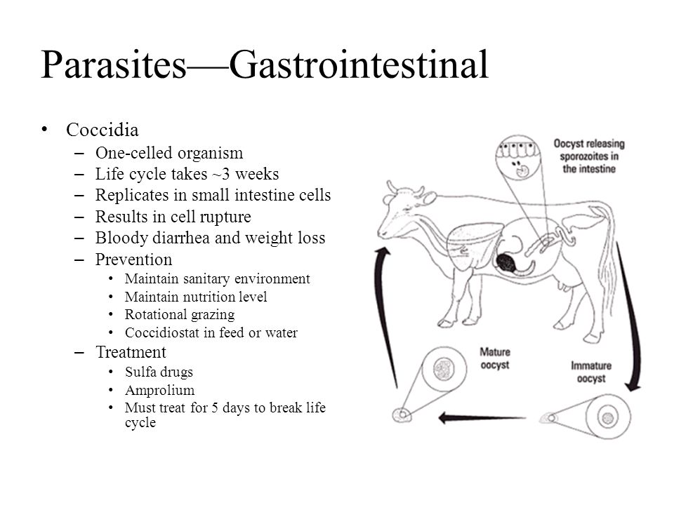 Parasites—Gastrointestinal Coccidia – One-celled organism – Life cycle takes ~3 weeks – Replicates in small intestine cells – Results in cell rupture