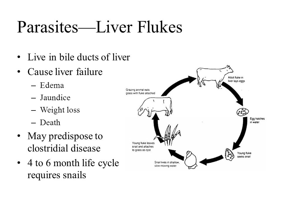 Parasites—Liver Flukes Live in bile ducts of liver Cause liver failure – Edema – Jaundice – Weight loss – Death May predispose to clostridial disease
