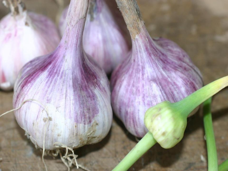 Garlic pic