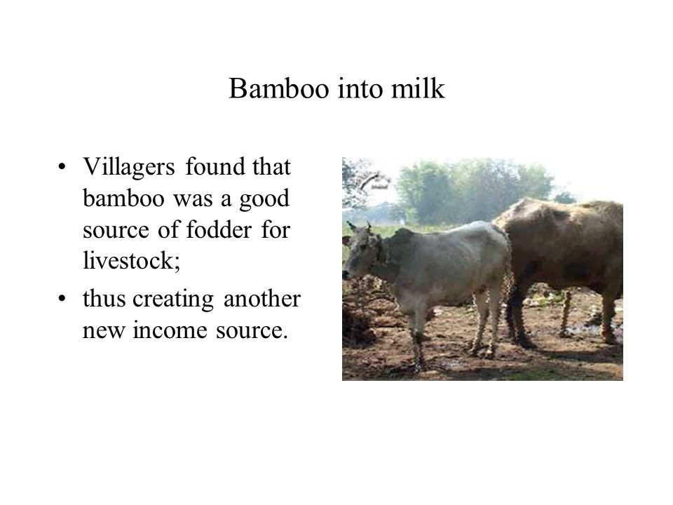 Bamboo into milk Villagers found that bamboo was a good source of fodder for livestock; thus creating another new income source.