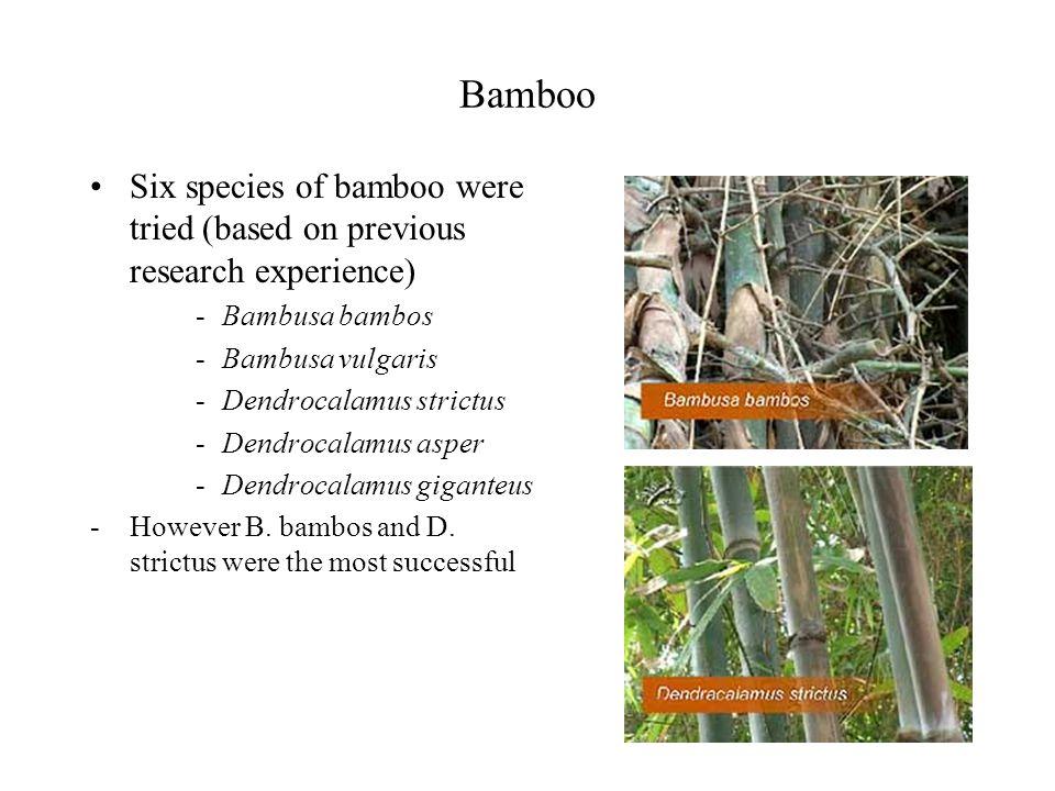 Bamboo Six species of bamboo were tried (based on previous research experience) -Bambusa bambos -Bambusa vulgaris -Dendrocalamus strictus -Dendrocalamus asper -Dendrocalamus giganteus -However B.