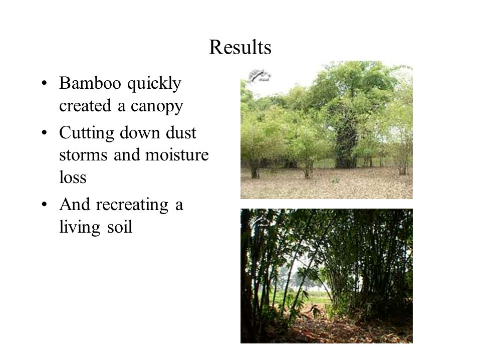 Results Bamboo quickly created a canopy Cutting down dust storms and moisture loss And recreating a living soil