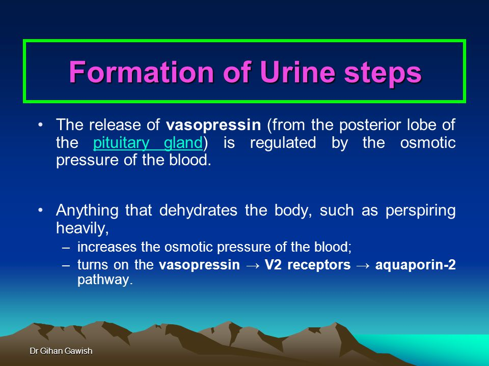 Dr Gihan Gawish Formation of Urine steps The release of vasopressin (from the posterior lobe of the pituitary gland) is regulated by the osmotic pressure of the blood.pituitary gland Anything that dehydrates the body, such as perspiring heavily, –increases the osmotic pressure of the blood; –turns on the vasopressin → V2 receptors → aquaporin-2 pathway.