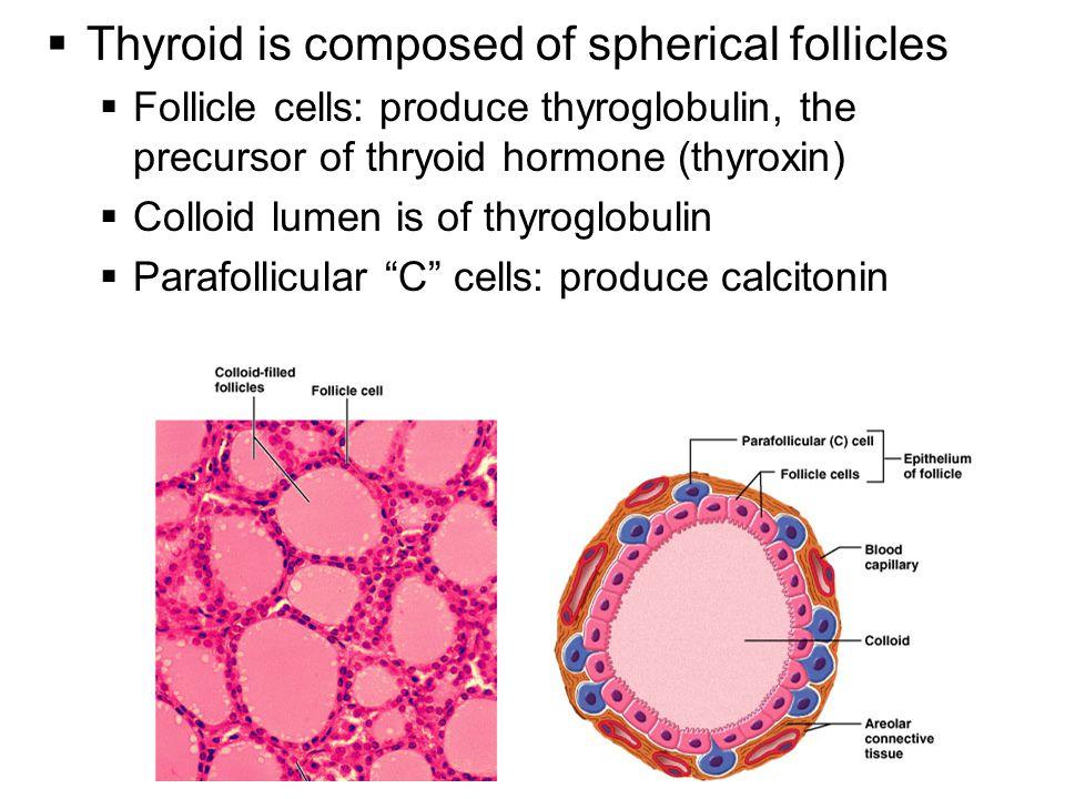 16  Thyroid is composed of spherical follicles  Follicle cells: produce thyroglobulin, the precursor of thryoid hormone (thyroxin)  Colloid lumen i