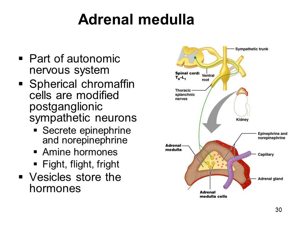 30 Adrenal medulla  Part of autonomic nervous system  Spherical chromaffin cells are modified postganglionic sympathetic neurons  Secrete epinephri