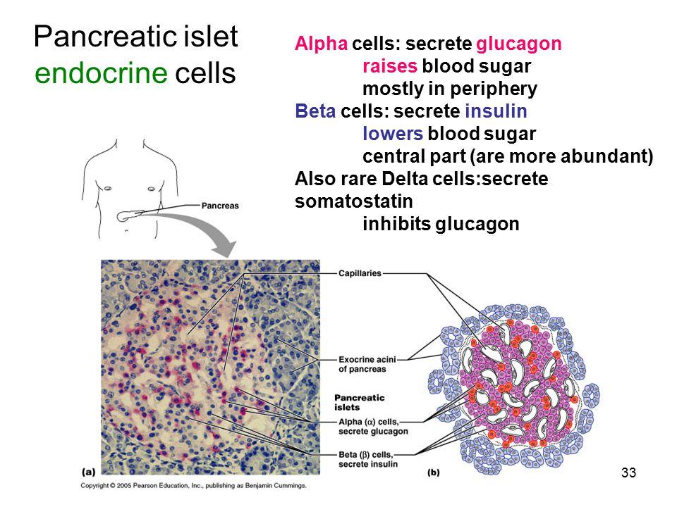 33 Pancreatic islet endocrine cells Alpha cells: secrete glucagon raises blood sugar mostly in periphery Beta cells: secrete insulin lowers blood suga