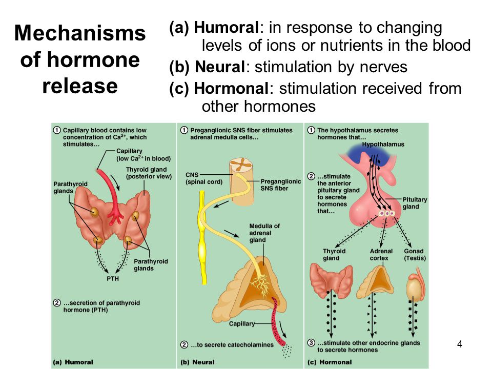 4 Mechanisms of hormone release (a) Humoral: in response to changing levels of ions or nutrients in the blood (b) Neural: stimulation by nerves (c) Ho