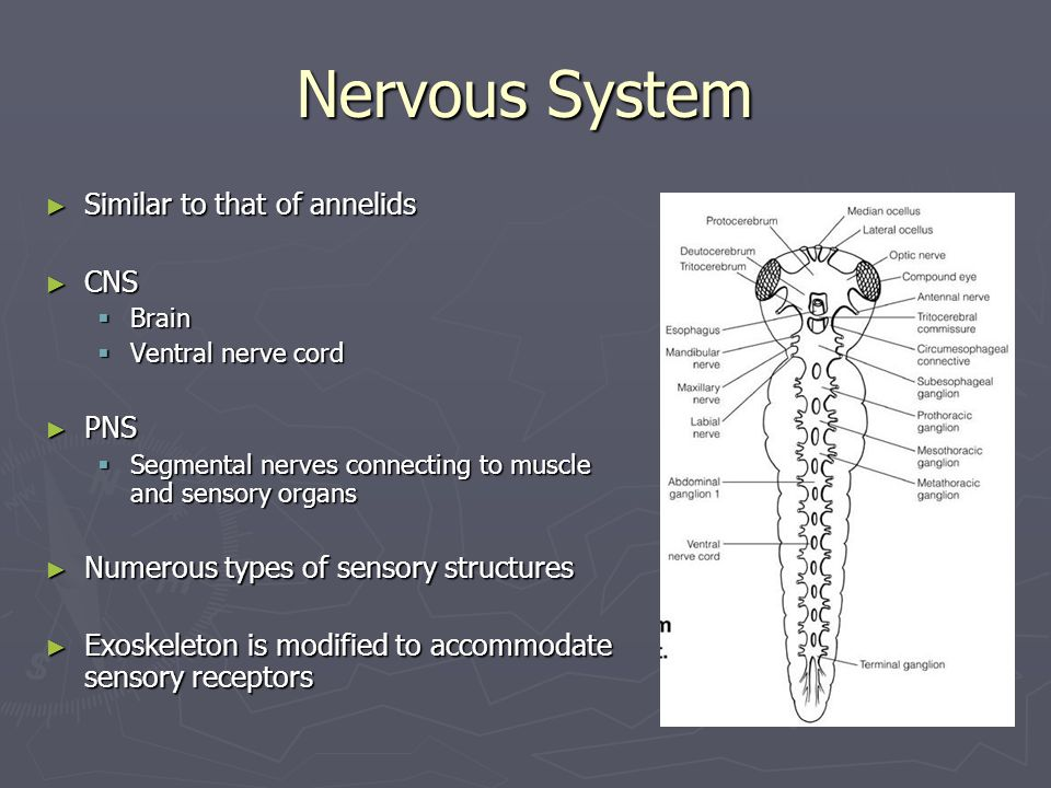 Nervous System ► Similar to that of annelids ► CNS  Brain  Ventral nerve cord ► PNS  Segmental nerves connecting to muscle and sensory organs ► Numerous types of sensory structures ► Exoskeleton is modified to accommodate sensory receptors