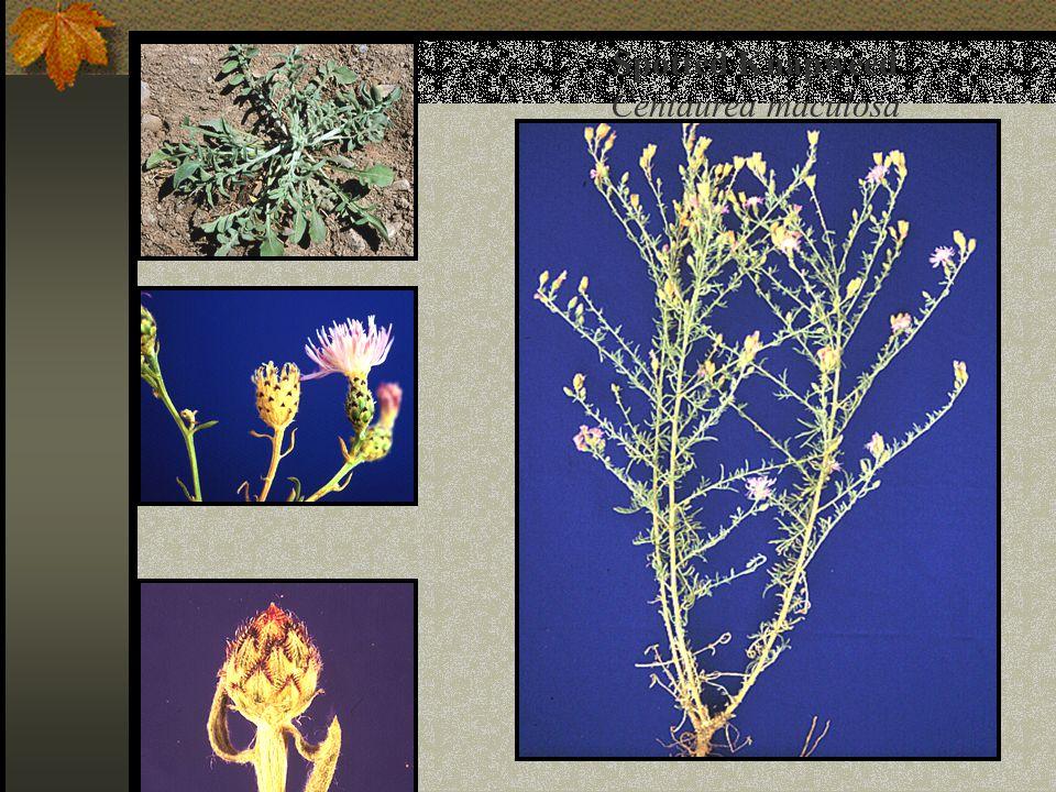 Spotted Knapweed Centaurea maculosa