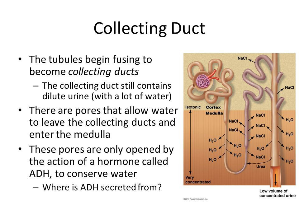 Collecting Duct The tubules begin fusing to become collecting ducts – The collecting duct still contains dilute urine (with a lot of water) There are pores that allow water to leave the collecting ducts and enter the medulla These pores are only opened by the action of a hormone called ADH, to conserve water – Where is ADH secreted from