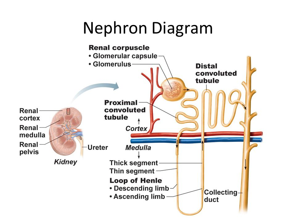 Nephron Diagram