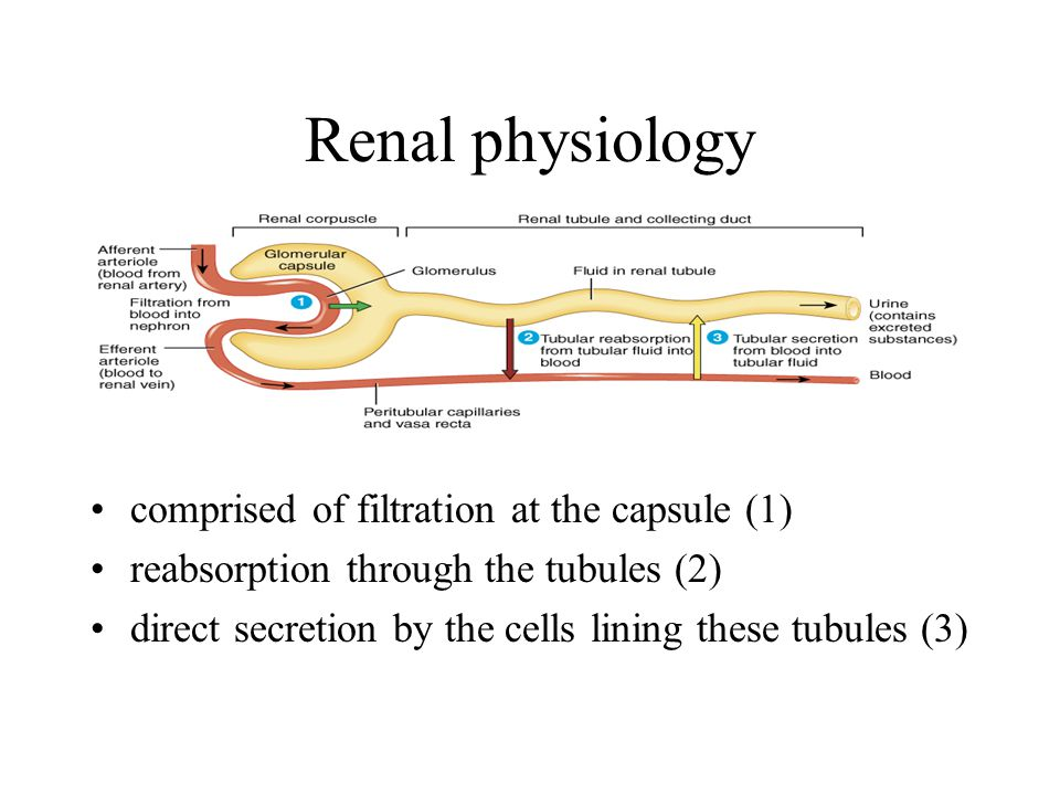 Renal physiology comprised of filtration at the capsule (1) reabsorption through the tubules (2) direct secretion by the cells lining these tubules (3