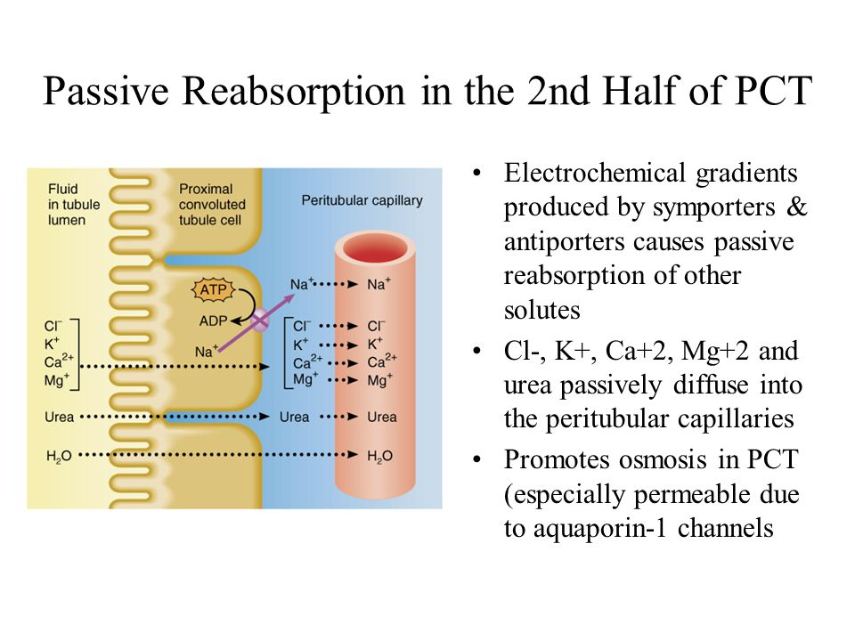 Passive Reabsorption in the 2nd Half of PCT Electrochemical gradients produced by symporters & antiporters causes passive reabsorption of other solute