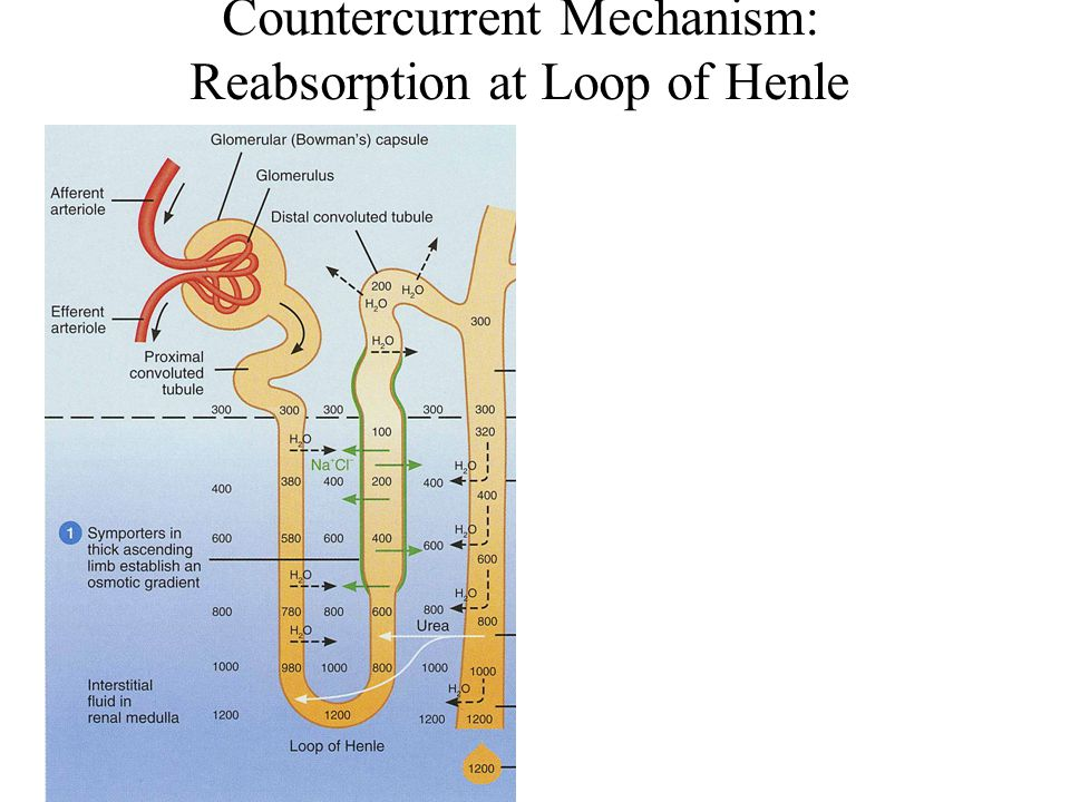 Countercurrent Mechanism: Reabsorption at Loop of Henle