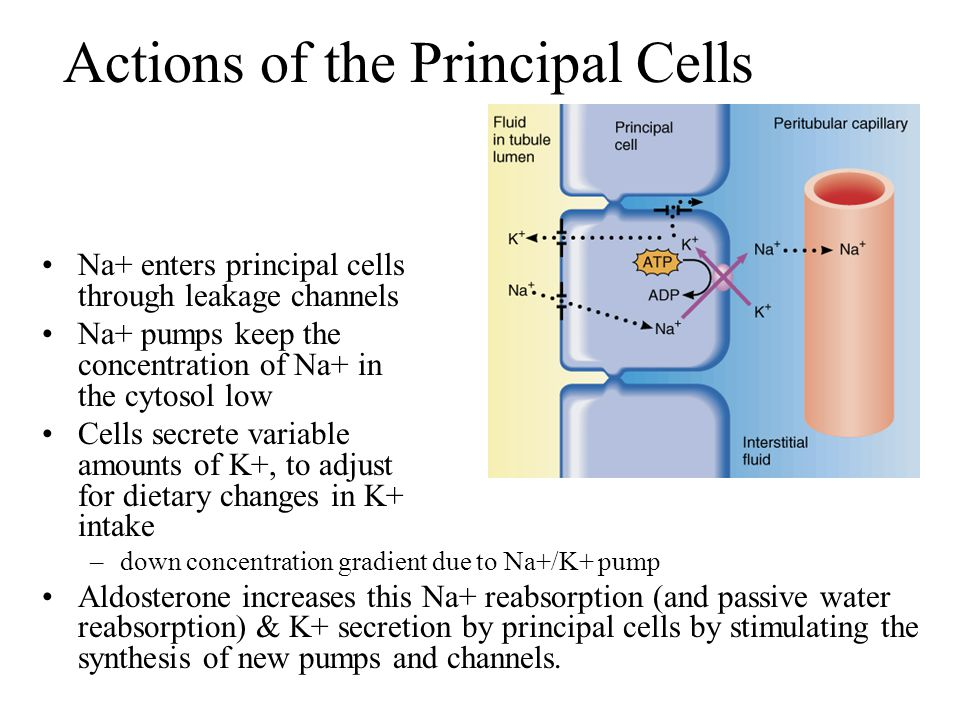 Actions of the Principal Cells Na+ enters principal cells through leakage channels Na+ pumps keep the concentration of Na+ in the cytosol low Cells se