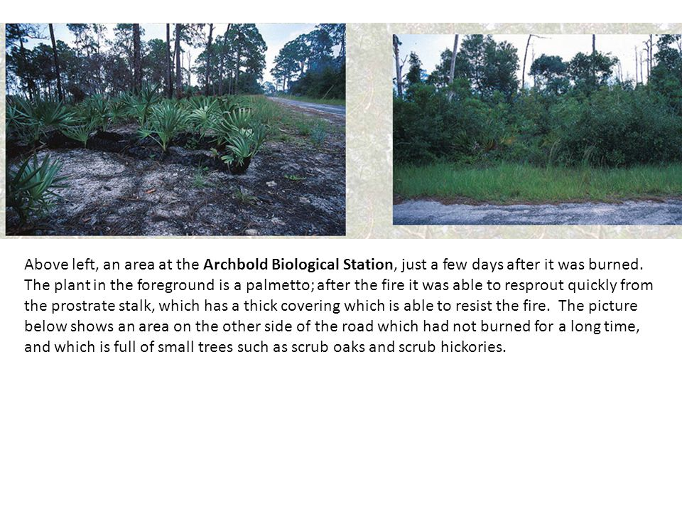 Above left, an area at the Archbold Biological Station, just a few days after it was burned. The plant in the foreground is a palmetto; after the fire