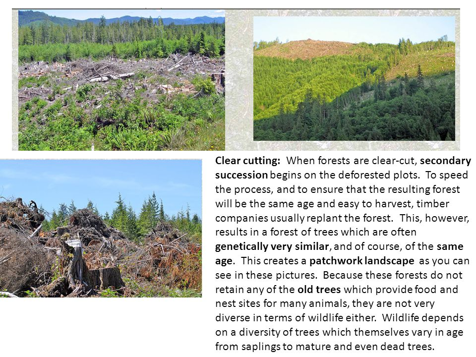Clear cutting: When forests are clear-cut, secondary succession begins on the deforested plots. To speed the process, and to ensure that the resulting