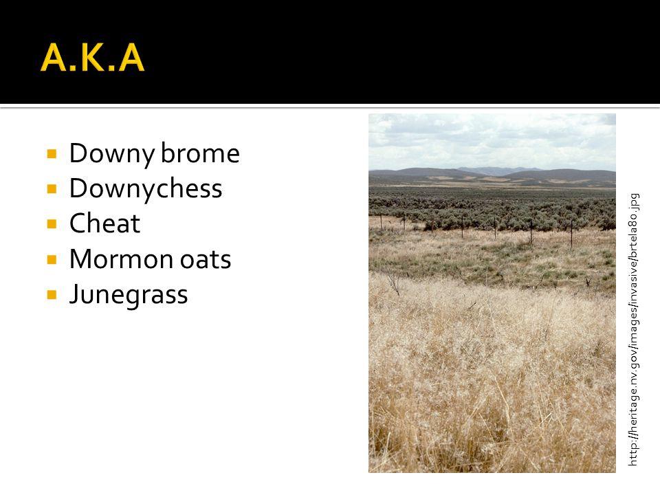  Downy brome  Downychess  Cheat  Mormon oats  Junegrass http://heritage.nv.gov/images/invasive/brtela80.jpg