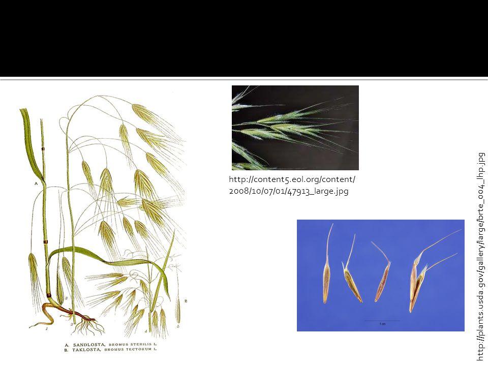 http://plants.usda.gov/gallery/large/brte_004_lhp.jpg http://content5.eol.org/content/ 2008/10/07/01/47913_large.jpg
