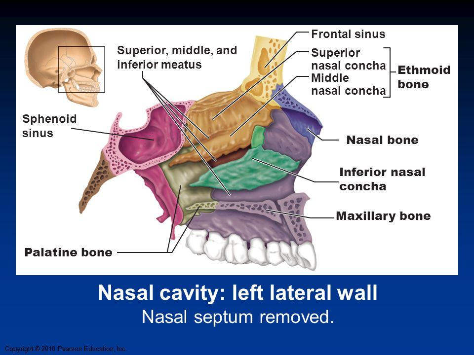 Copyright © 2010 Pearson Education, Inc. Nasal cavity: left lateral wall Nasal septum removed. Maxillary bone Palatine bone Sphenoid sinus Frontal sin