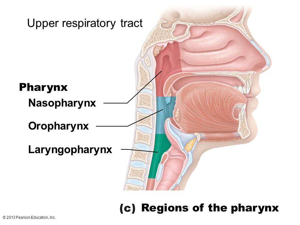 © 2013 Pearson Education, Inc. Upper respiratory tract Nasopharynx Oropharynx Laryngopharynx Regions of the pharynx Pharynx