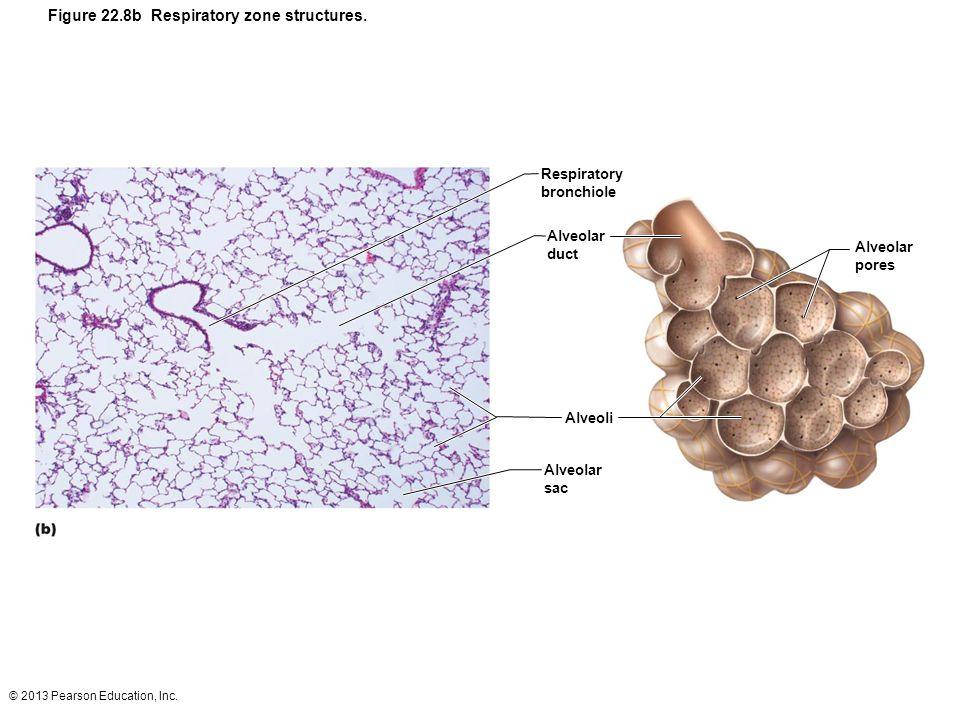 © 2013 Pearson Education, Inc. Figure 22.8b Respiratory zone structures. Respiratory bronchiole Alveolar duct Alveoli Alveolar sac Alveolar pores