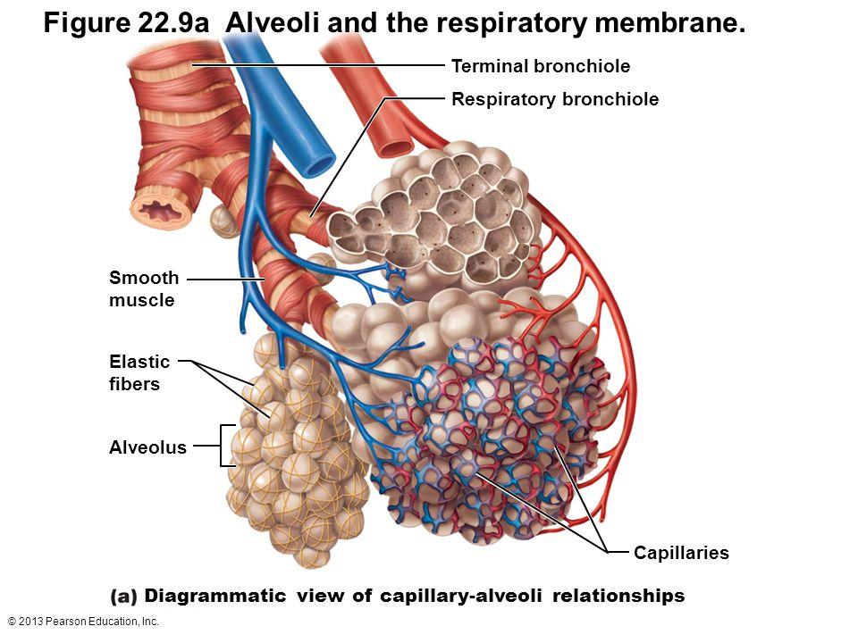 © 2013 Pearson Education, Inc. Terminal bronchiole Respiratory bronchiole Smooth muscle Elastic fibers Alveolus Capillaries Diagrammatic view of capil