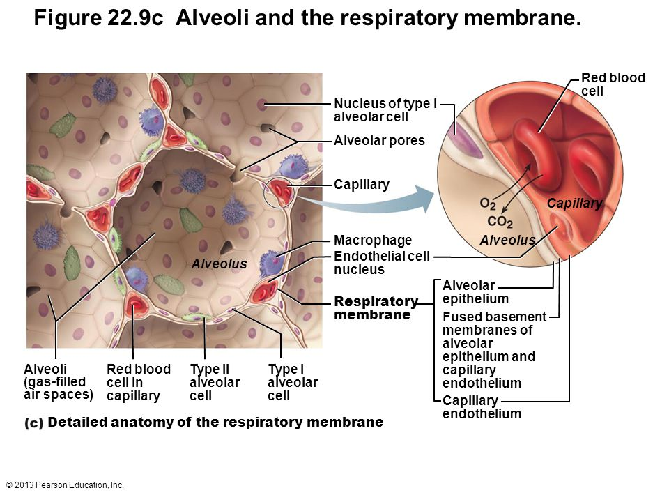 © 2013 Pearson Education, Inc. Figure 22.9c Alveoli and the respiratory membrane. Red blood cell in capillary Alveoli (gas-filled air spaces) Type II