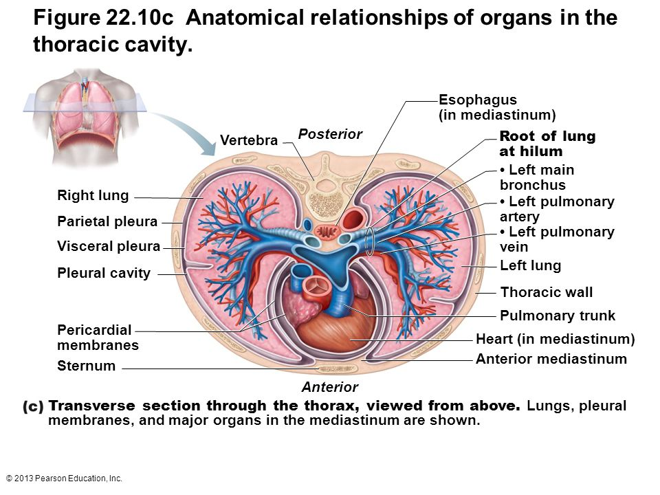 © 2013 Pearson Education, Inc. Figure 22.10c Anatomical relationships of organs in the thoracic cavity. Transverse section through the thorax, viewed