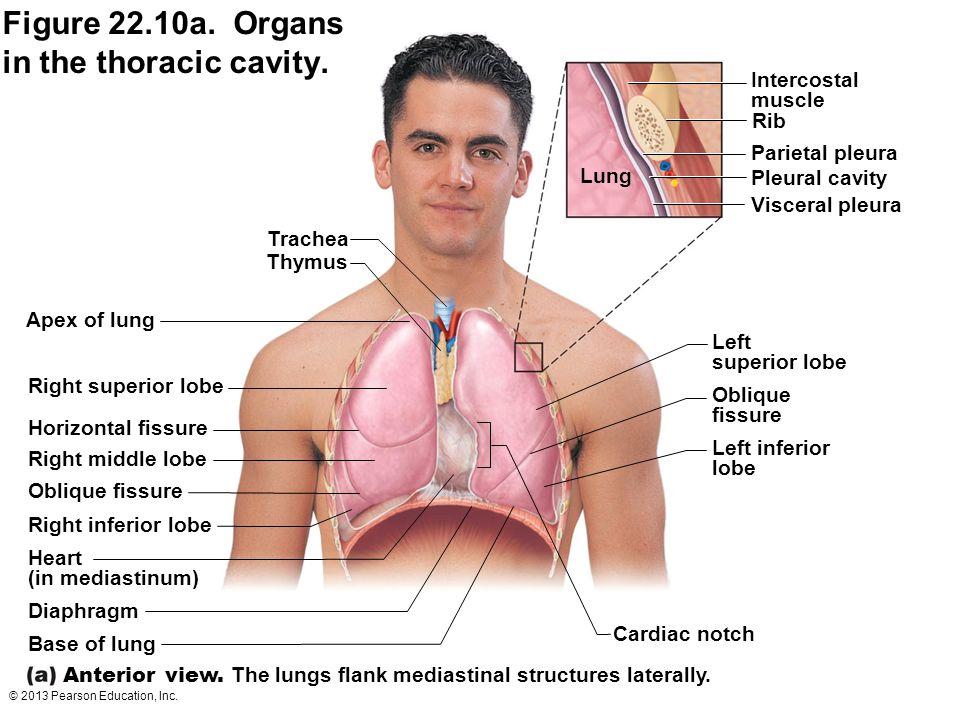 © 2013 Pearson Education, Inc. Trachea Thymus Apex of lung Right inferior lobe Horizontal fissure Right superior lobe Oblique fissure Right middle lob