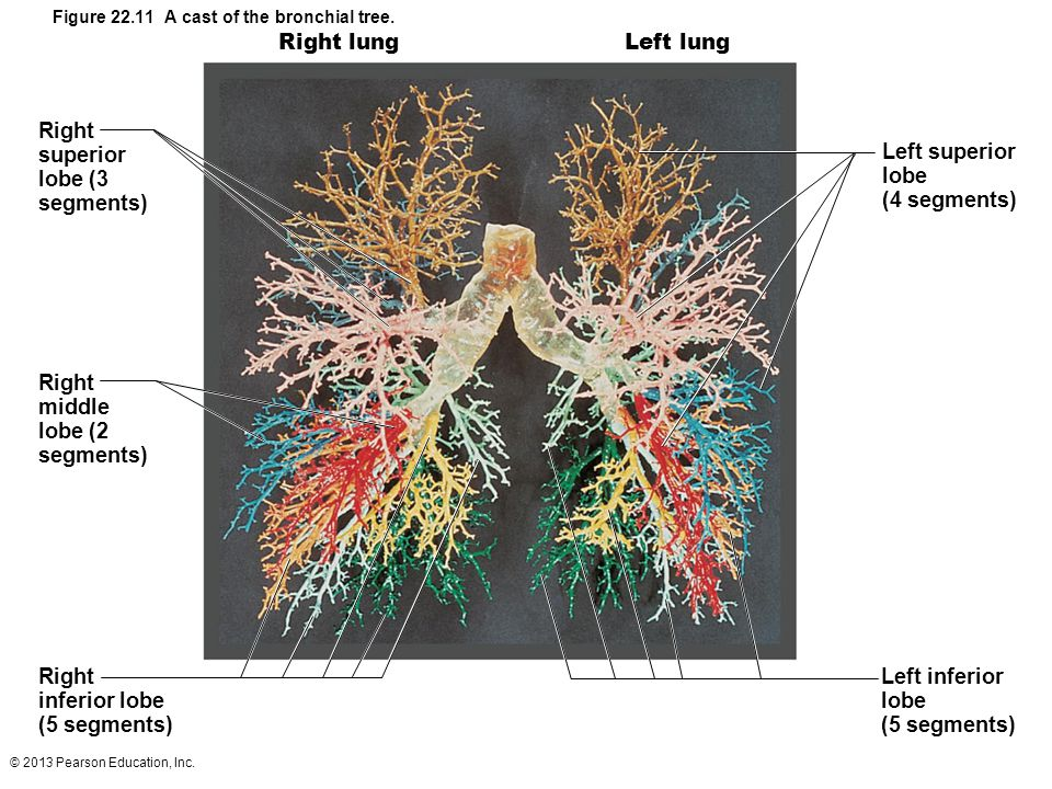 © 2013 Pearson Education, Inc. Figure 22.11 A cast of the bronchial tree. Right lungLeft lung Left superior lobe (4 segments) Left inferior lobe (5 se