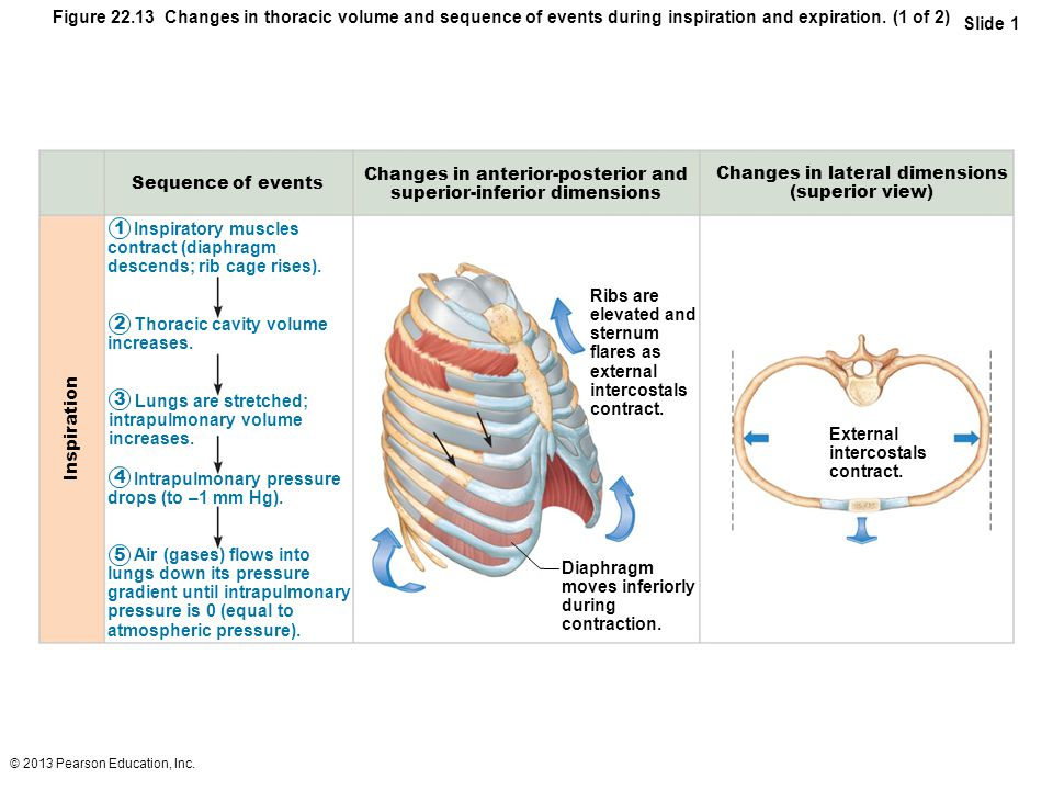 © 2013 Pearson Education, Inc. Figure 22.13 Changes in thoracic volume and sequence of events during inspiration and expiration. (1 of 2) Slide 1 Insp