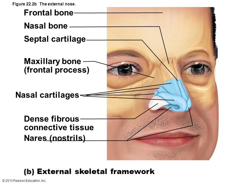© 2013 Pearson Education, Inc. Figure 22.2b The external nose. Frontal bone Nasal bone Septal cartilage Maxillary bone (frontal process) Nasal cartila