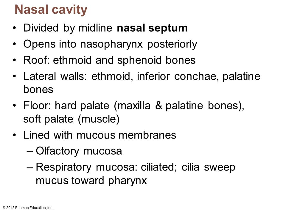 © 2013 Pearson Education, Inc. Nasal cavity Divided by midline nasal septum Opens into nasopharynx posteriorly Roof: ethmoid and sphenoid bones Latera