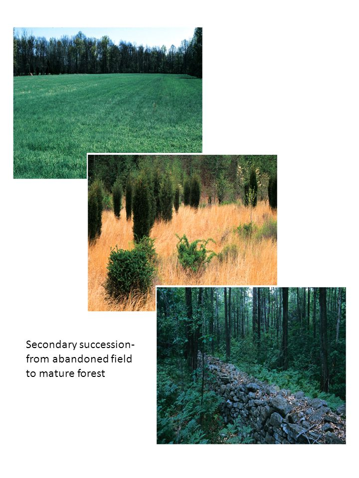 Secondary succession- from abandoned field to mature forest