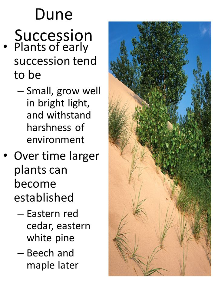 Dune Succession Plants of early succession tend to be – Small, grow well in bright light, and withstand harshness of environment Over time larger plants can become established – Eastern red cedar, eastern white pine – Beech and maple later