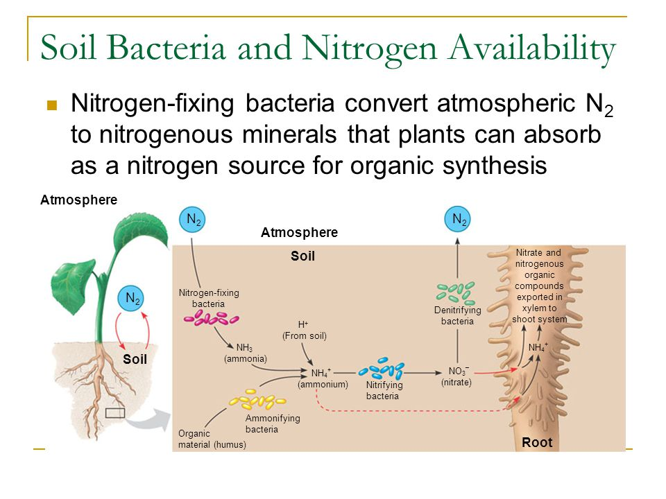 Soil Bacteria and Nitrogen Availability Nitrogen-fixing bacteria convert atmospheric N 2 to nitrogenous minerals that plants can absorb as a nitrogen source for organic synthesis Atmosphere N2N2 Soil N2N2 N2N2 Nitrogen-fixing bacteria Organic material (humus) NH 3 (ammonia) NH 4 + (ammonium) H + (From soil) NO 3 – (nitrate) Nitrifying bacteria Denitrifying bacteria Root NH 4 + Soil Atmosphere Nitrate and nitrogenous organic compounds exported in xylem to shoot system Ammonifying bacteria